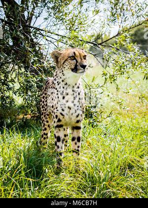 Cheetah im Gras mit Baum Hintergrund - Stockfoto