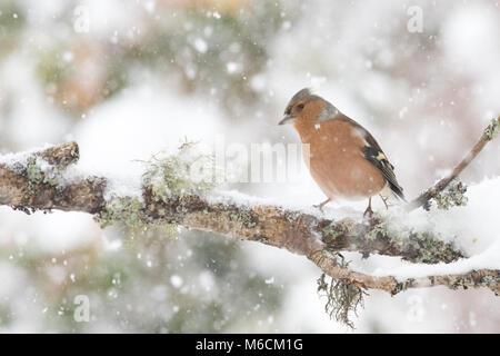 Buchfink (männlich) im Winter - Stockfoto