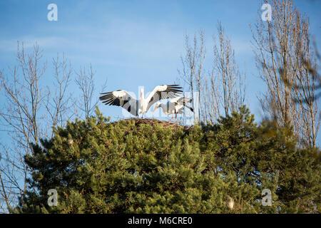 Zwei Störche stehen hoch oben in einem Nest. Einer von ihnen hat gerade gelandet und hat seine Flügel ausbreiten. - Stockfoto