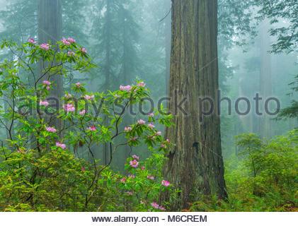 Rhododendron Blüte, Redwoods, Küstennebel, Verdammnis Creek, Del Norte Redwoods State Park, Redwood State und Nationalparks, - Stockfoto