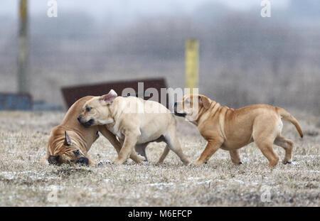 Drei braun drei Monate alt de Bou (mallorquinische Mastiff) männlichen Welpen Hunde spielen Im freien Ca - Stockfoto