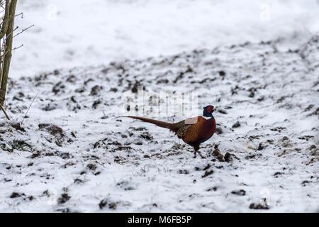 Melton Mowbray 3. März 2018: Blizzards Teig Großbritannien extreme Schnee viele Teile der britischen lone Runner, - Stockfoto