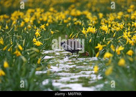 London, Großbritannien. 3. März 2018. Da der Schnee enden, Narzissen blühen in den St. James Park, läutet den Beginn - Stockfoto