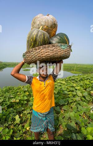 Die Arial Beel (Wasser Körper) von Munshiganj berühmt für die besondere Art der großen mittelständischen süße Kürbisse, - Stockfoto