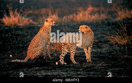 Serengeti Nationalpark in Tansania, ist einer der spektakulärsten Tierwelt Reiseziele der Erde. Cheetah Bruder in schwarz verbrannt Grasland