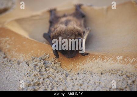 Chiroptera schläft auf Wand - Stockfoto