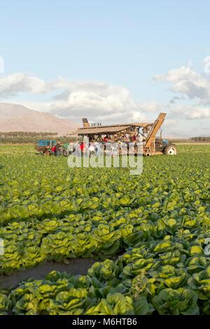 """Außendienstmitarbeiter, die Ernte & Verpackung' Romaine"""" Salat """"Lactuca sativa"""", Morgenlicht, Mekka, Riverside County. - Stockfoto"""