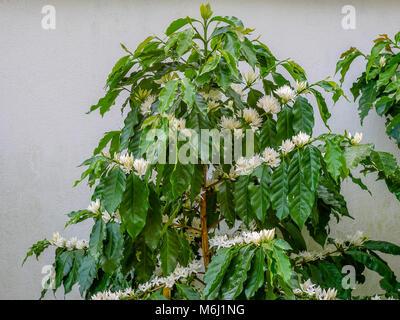 Kaffee Blume auf Kaffee Baum weiß Blüte Farbe Blume Nahaufnahme ...