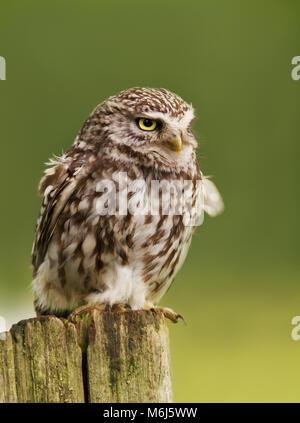 Nahaufnahme eines kleine Eule hocken auf einem Baumstamm, UK. - Stockfoto