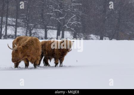 Highland Kuh, Bos taurus, Coo, Vieh, Jung und weiblich Nahrungssuche im Schnee Feld innerhalb der Cairngorms National - Stockfoto