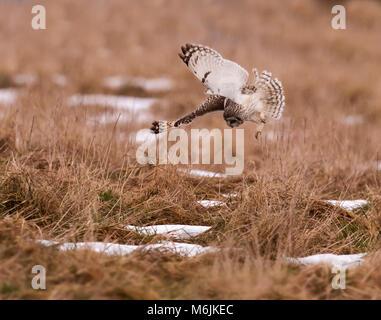 Wild Short Eared Owl (Asio Flammeus) Tauchen auf ahnungslose Beute in Gloucestershire - Stockfoto