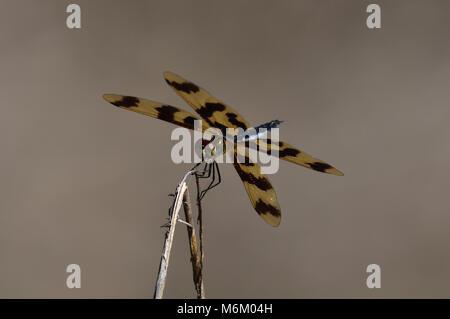 Eine australische Grafik Flutterer Libelle auf einem Zweig close-up - Stockfoto