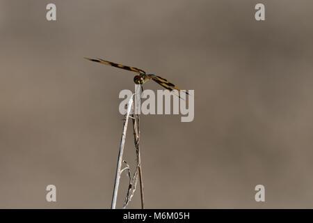 Eine australische Grafik Flutterer Libelle auf einem Zweig - Stockfoto