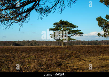 Kiefer Pinus sylvestris auf Heide im New Forest - Stockfoto