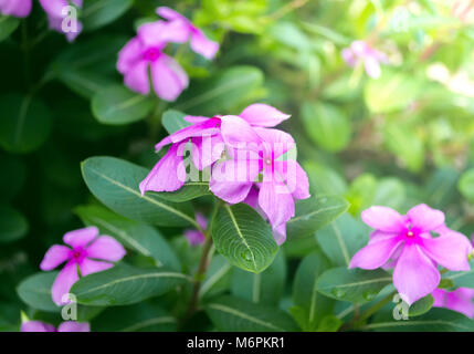 Purple Rose Periwinkle im Blumengarten im Sommer oder Frühling - Stockfoto