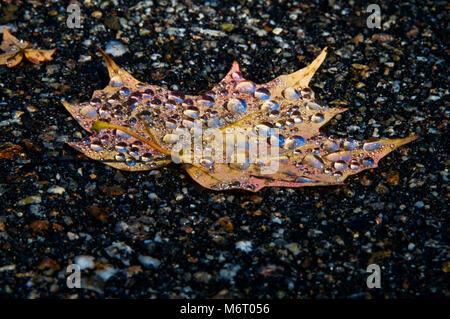 Wasser Perlen auf Sugar Maple Leaf im Herbst - Stockfoto