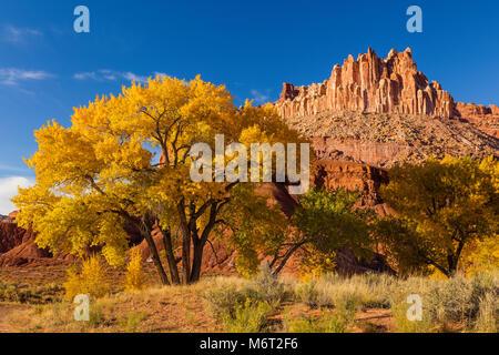 Pappeln im Herbst, das Schloss, Capitol Reef National Park, Utah - Stockfoto