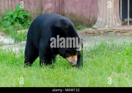 Sun Bear Big Black Bear auf grünem Gras - Stockfoto