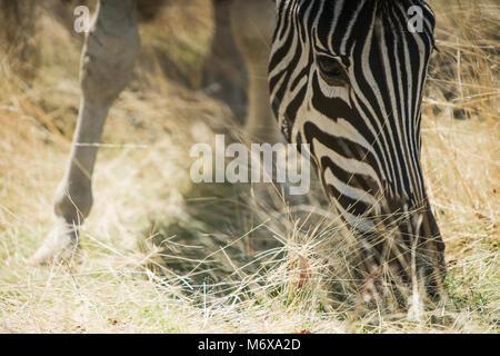 Portrait von Zebra fressen Gras. - Stockfoto