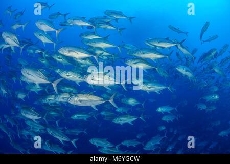 Großaugenthun Trevally, Caranx sexfasciatus, Schule von Stachelmakrelen, Cocos Island, Costa Rica, Pazifik - Stockfoto