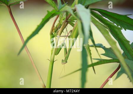 Mantis religiosa auf Anlagen - Stockfoto