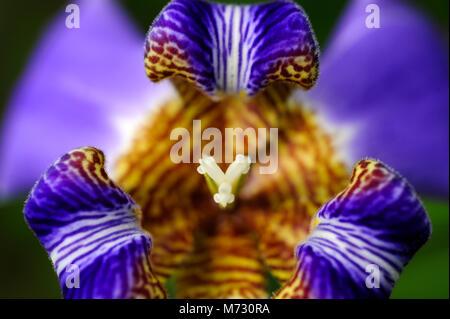 Iris Neomarica caerulea 'Regina', oder allgemein als der Riese Apostel Iris aus Brasilien stammt. - Stockfoto