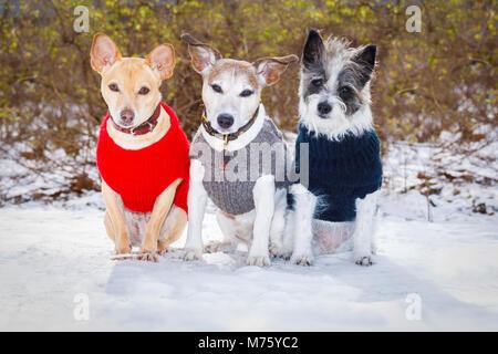 Cool lustig Einfrieren eisigen paar Hunde in einer Zeile im Schnee mit Pullover oder eine Strickjacke, sitzen und - Stockfoto