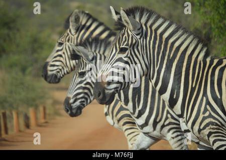 Niedliche Zebra im Kruger National Park - Stockfoto