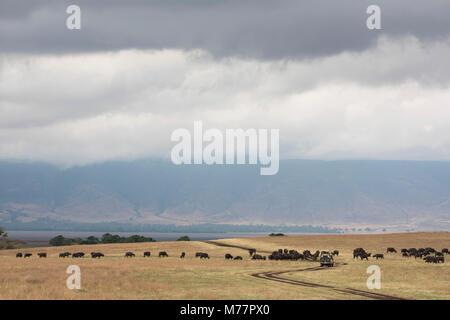 Wasserbüffel Um eine Safari im Ngorongoro Krater, UNESCO-Weltkulturerbe, Tansania, Ostafrika, Südafrika - Stockfoto