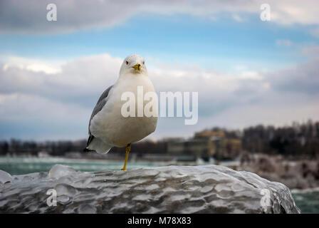 Möwe (Ring-billed Gull) stehen auf einem Bein gefroren eisigen Zaun in der Nähe von Niagara Falls - Stockfoto