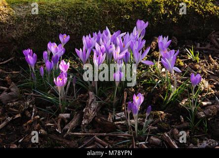 Crocus Tommasinianus Wachsen Im Garten Grenze Unter Sträuchern Und