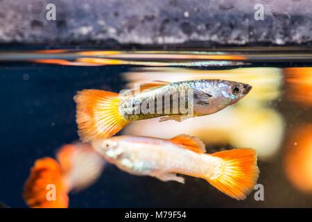 Einige Fische im Süßwasser-Aquarium. - Stockfoto