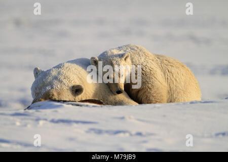 Nordamerika, USA, Alaska, North Alaska, Arktis allgemein Wildlife Refuge, Kaktovik, Eisbär, Ursus maritimus, - Stockfoto