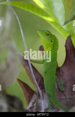 Green Crested Lizard (Bronchocela Cristatella) im Regenwald