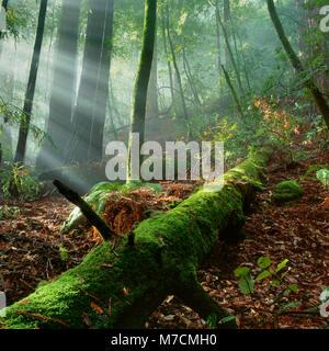Heben Nebel, Muir Woods National Monument, Marin County, Kalifornien - Stockfoto