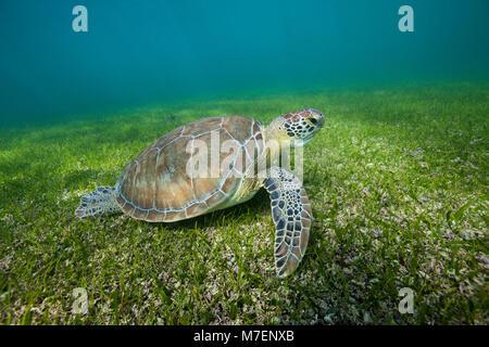 Grüne Meeresschildkröte, Chelonia mydas, Akumal und Tulum, Mexiko - Stockfoto
