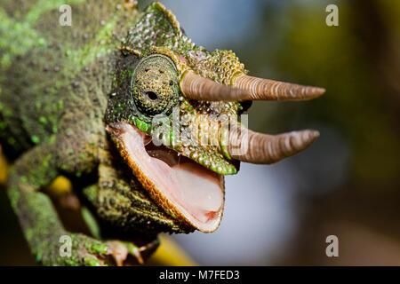 Eine männliche Jackson Chamäleon, Chamaeleo lormieri, Maui, Hawaii. Diese Art ist heimisch in das östliche Afrika. - Stockfoto