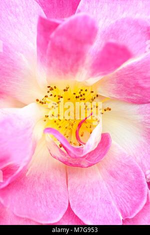 Close-up-Bild von Rosa 'Erfurt' rosa Blume - 'Erfurt' rosa Strauch Rose, ein Hybrid moschus Blüte, mit Honig Bee - Stockfoto
