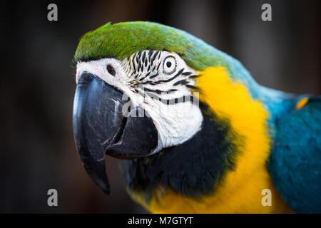 Eine blaue und gelbe Ara - Stockfoto