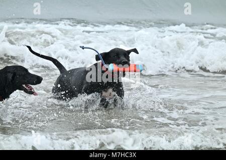 Zwei große, schwarze Hunde spielen bei Hund Strand - Stockfoto