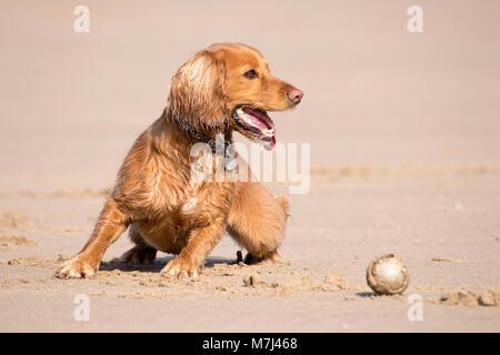 Tag des Hundes, Blackpool, Lancashire. 11. März 2018. UK Wetter. Der wunderschöne goldene Cocker Spaniel Welpen - Stockfoto