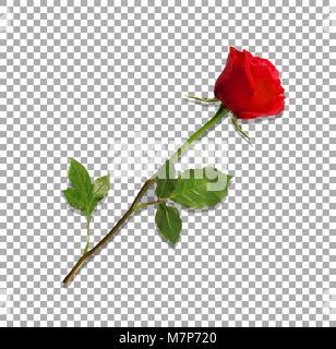 Vector Illustration von photo-realistisch, sehr detaillierte Blume der roten Rose auf transparentem Hintergrund - Stockfoto