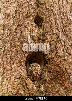 Steinkauz (Athene noctua) peeking von Baum hohl. Stockfoto