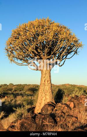 Köcher Baum mit Blüten im Morgenlicht. - Stockfoto