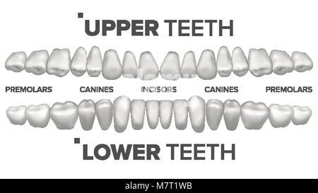 Kieferorthopäde menschlichen Zahn Anatomie Vektor mit Nummerierung ...