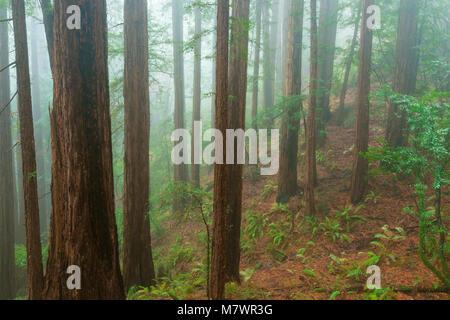 Küstennebel, Mammutbäume, Sequoia sempervirens, Muir Woods National Monument, Marin County, Kalifornien - Stockfoto