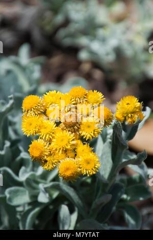 Blumen des jährlichen Gartenpflanze Bracteantha Bracteata Traumzeit ...