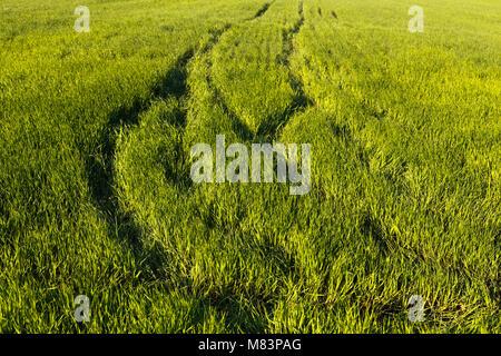 Grünes Weizenfeld auf Frühling mit Anschlüssen - Stockfoto