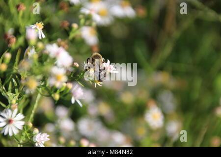 Diese pollen riecht super. Gelb und Schwarz Bumblebee Überprüfung aus süßen Geruch von winzigen wildflower Pollen - Stockfoto