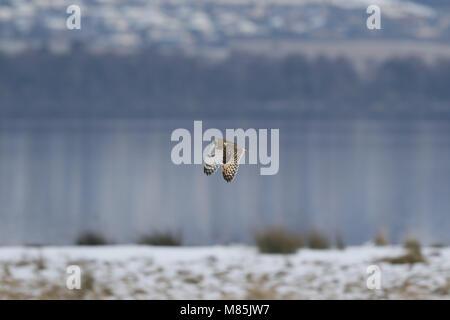 Sumpfohreule, Asio flammeus, fliegt über schneebedeckte Gras - Stockfoto